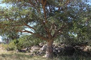 mukuyu tree