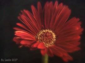 The last gerbera; second edit. Image: Su Leslie, 2017