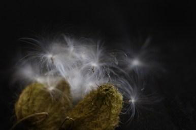 Milkweed seed pods. Image: Su Leslie, 2017