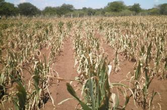 Drought ravages Chivi district
