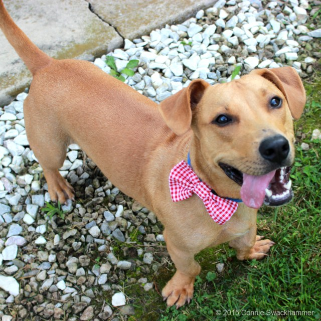Basset hound pit bull dog