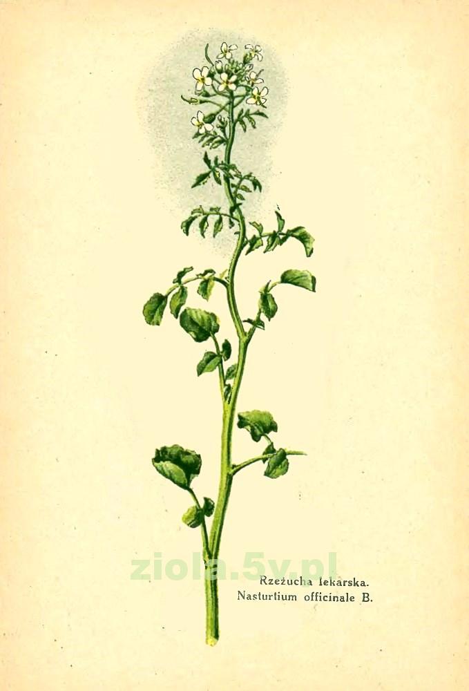 Rukiew wodna (rzeżucha lekarska)