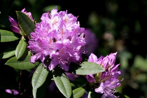 Rhodedendron's are Goat Poison