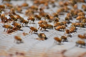 Bees fanning to let the world know they swarmed