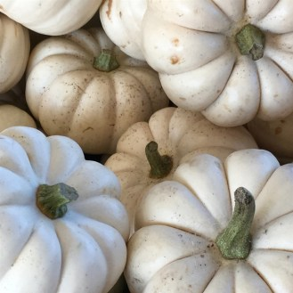 white pumpkins Stanly Lane Pumpkin Patch