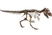 Authentic T. Rex Skeleton on Display at the Smithsonian