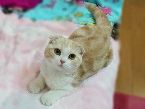 スコティッシュフォールドの性格や寿命は?耳折れ猫の特徴を紹介!