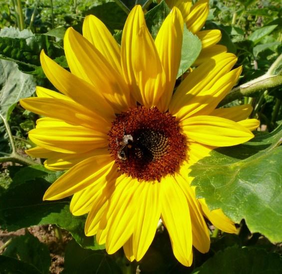 Schöne Sonnenblume mit Hummel