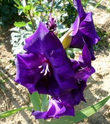 Schöne Farbe lila Gladiolen