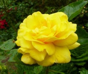 Gelb wie die Sonne..