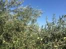 Olivenbaum in Ritini