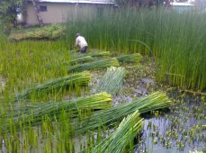 Harvesting Kauna (Cutting Kauna)