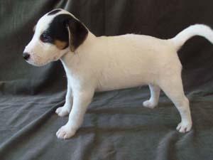 Nowy miot Parson Russell Terrierów ur. 08.08 ma juz 7 tygodni