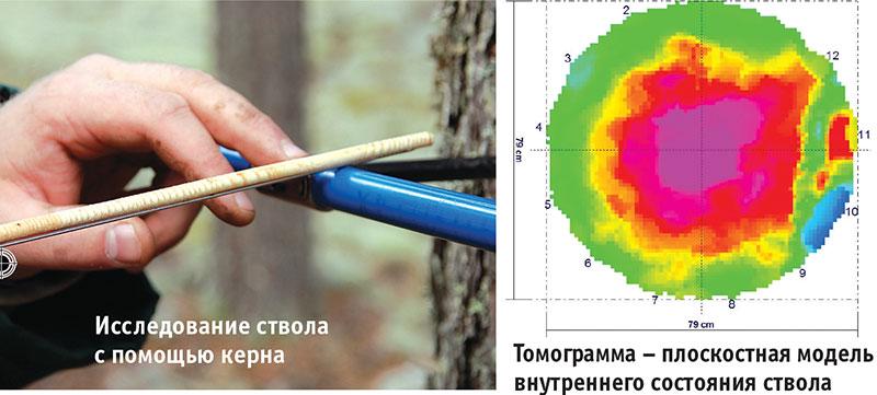 Определение возраста дерева по годичным кольцам буравом Пресслера
