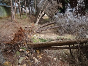 Ice Uprooted Trees
