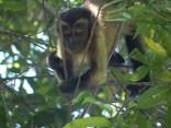 Black-capped capuchins (mono maicero; Sapajus apella fatuellus)