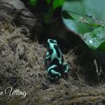 Green Frog in Zoo Copyright Zoe Utting