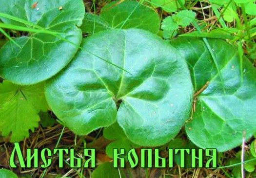 Листья копытня