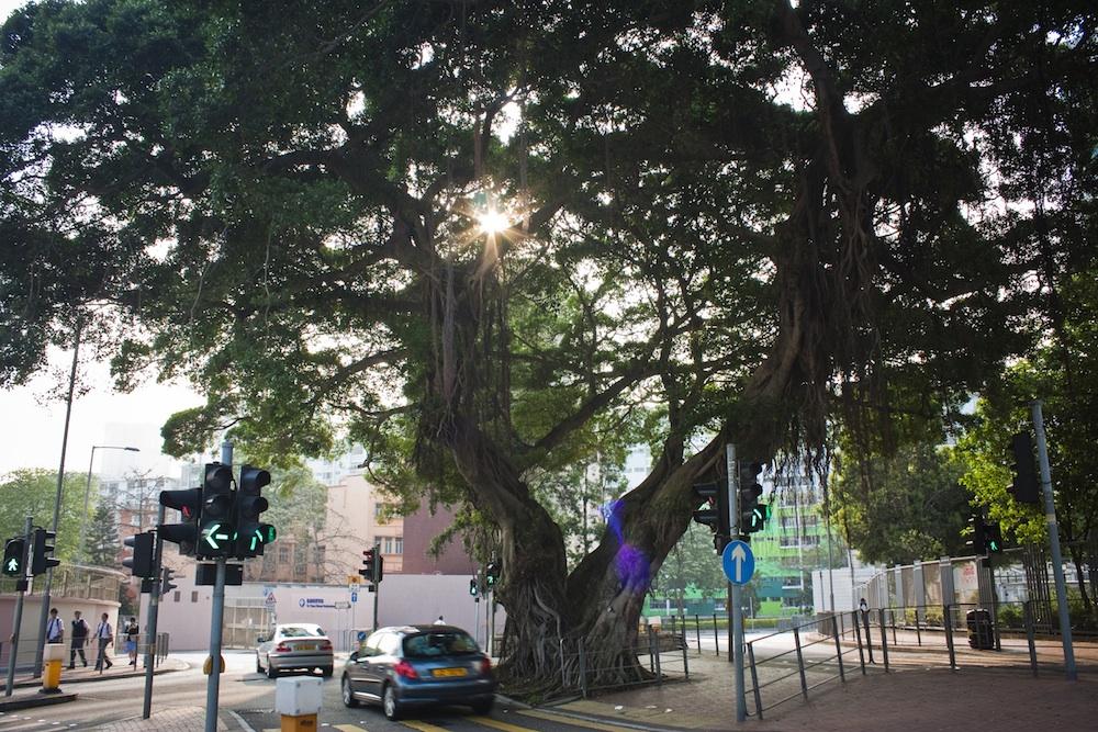 To Yuen street accommodating a banyan tree