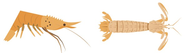 700.shrimps