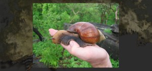 DID INFECTIOUS SNAILS INVADE TEXAS?