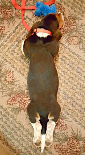 basset hound puppy sleeping on the floor with his feet stretched out behind him
