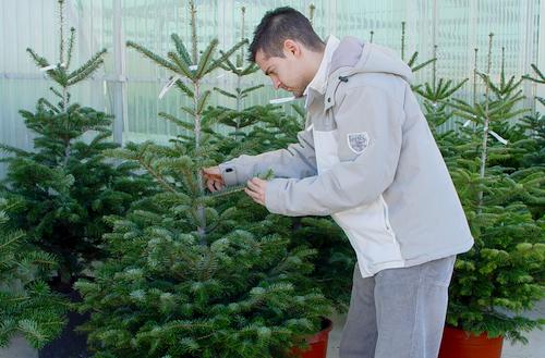 los operarios de medio ambiente del de madrid recogern a lo largo de todo el mes de enero los rboles vivos con cepelln de otra manera