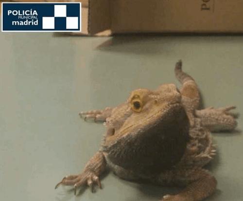 dragon-barbudo-australiano-perdido-madrid