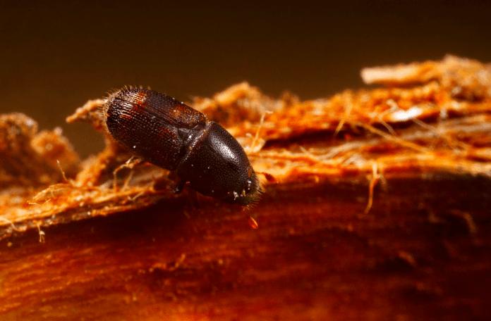 escarabajo-plaga-olmo