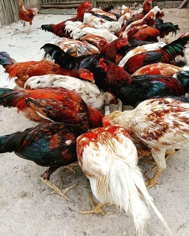 Kandang Umbaran Ayam Jawa