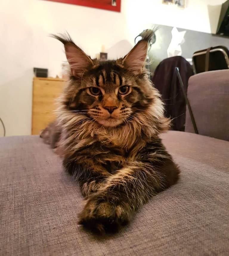 Kucing Mainecoon