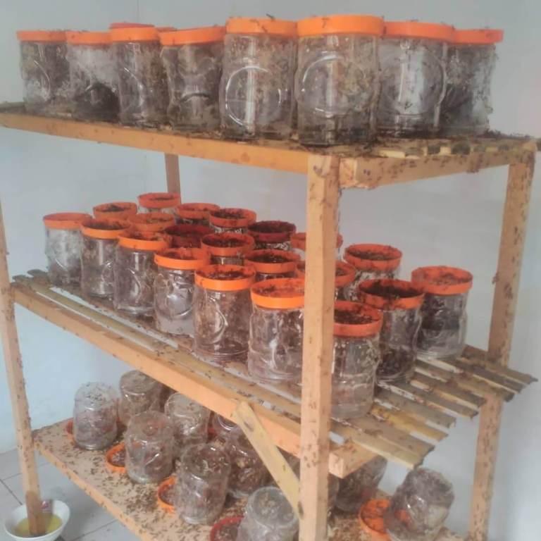 Rak Semut Rangrang