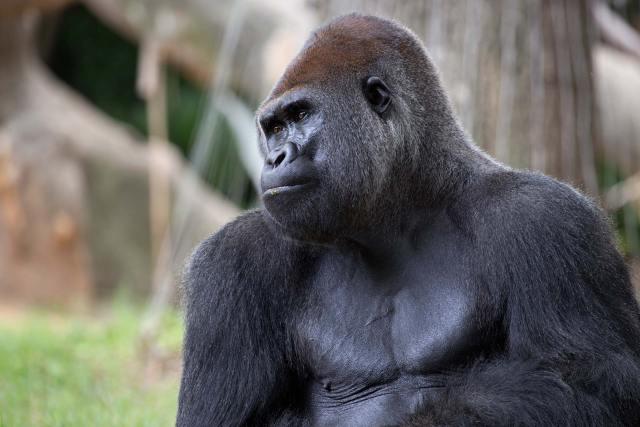 Gorilla gorilla (Western Gorilla)
