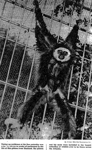 Photo-Bimbo-Gibbon-1952