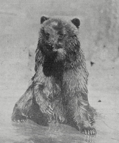 Caesar-bear