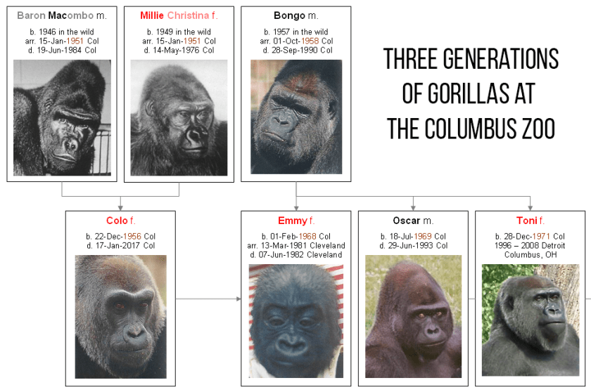 Three generations of gorillas at the Columbus Zoo