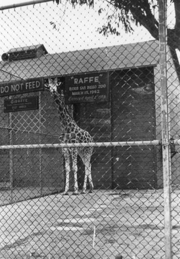 Raffe (or Raffy), the first giraffe born at the San Diego Zoo in March 1942.