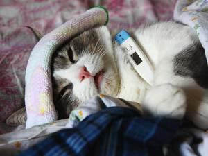 Лечение язвенного стоматита с грануляциями у кошки