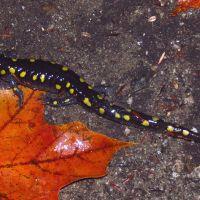 Salamandra solar
