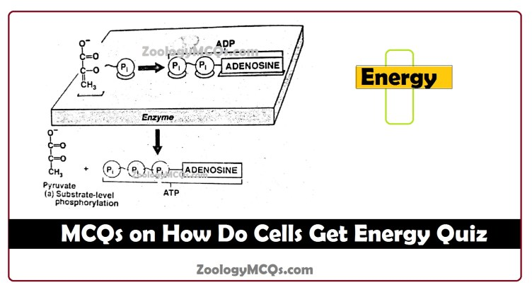 MCQs on How Do Cells Get Energy Quiz