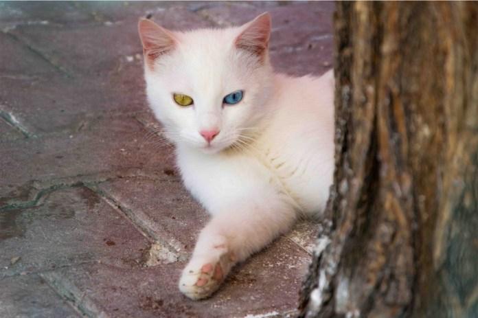 Gatto turco di Van - Zoom Giornale di Brescia