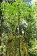 Huckleberry on a nurse stump