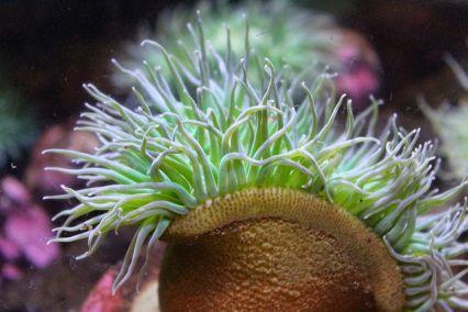 Anemone, aquarium, Newport, OR