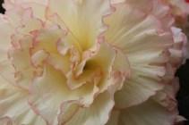 begonia-14