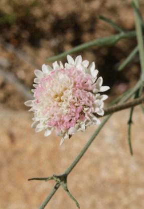 Desert pincushion (Chaenactis fremontii)