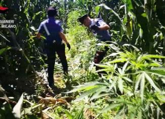 carabinieri contro la coltivazione della droga