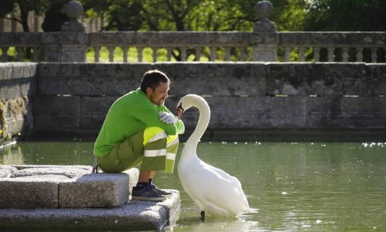 la-bella-historia-de-amor-entre-el-cisne-y-el-jardinero-del-escorial-llega-a-su-fin-un-ano-despues