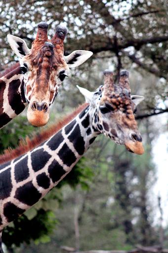 giraffe being fed a cherry