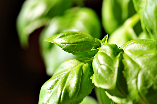 basil facts
