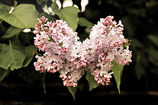 violet lilac in bloom